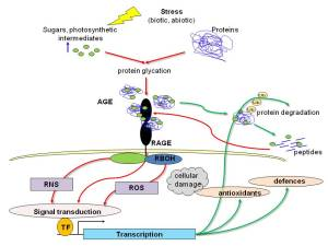 glycation diagramme